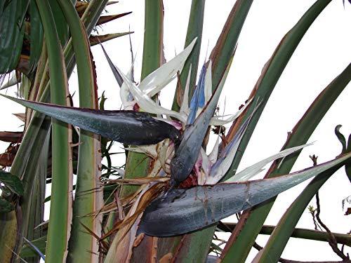 Oiseau du Paradis Blanc Strelitzia 10 graines