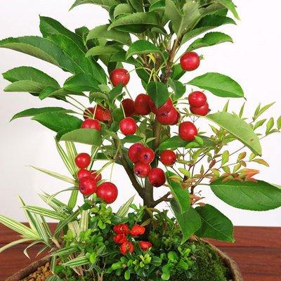 盆栽:姫りんご寄せA