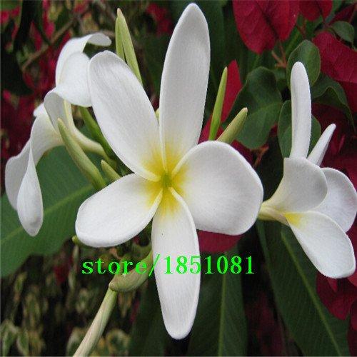 Graines Big promotion bricolage SeedsAndPlants Jardin des Plantes 100Seeds Mix-Color réel frais Plumeria Rubra Frangipani Lilavadee Arbre Fleur Shi gratuit