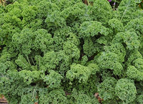 Kale Halbhoher gr Seeds