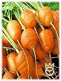 Zanahoria Mercado de Paris 3 Semillas Semillas Hortalizas Huerto