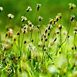 Outsidepride English Plantain Herb Plant Seed - 5000 Seeds