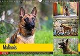 Malinois - belgischer Schäferhund (Wandkalender 2021 DIN A3 quer)