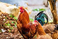 クロスステッチ 大人のためのクロスステッチキット 草の上のオンドリと雌鶏 40x50cm 11CT番号別刺繍キット手作りキットパンチ針刺繍DIY初心者向け手作りスターターキット