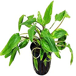 Cryptocoryne Beckettii | Size | Color | How to Grow 1