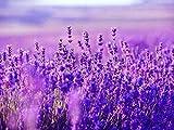 Lavender English Munstead Plant Seed 30+ Organic Love Grasss Hermosa planta Flor para el jardín de su casa Siembra