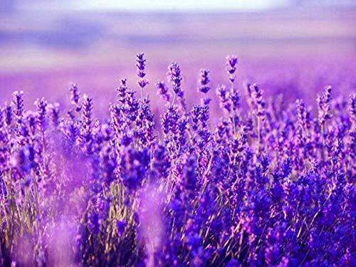 Lavendel Englisch Munstead Pflanzensamen 30+ Bio-Liebesgräser Schöne Pflanze Blume für Hausgarten Yards Pflanzen