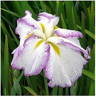 (ビオトープ)水辺植物 花菖蒲 麗月(レイゲツ)肥後系白地紫覆輪六英花(1ポット) (休眠株)