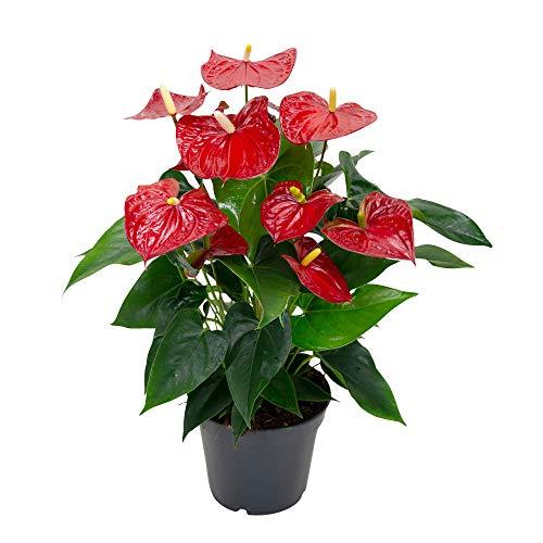 Anthurium andreanum'Karma Red' | Fiore Rosso Flamingo| Piante fiorenti da casa | Altezza 60-65 cm | Vaso Ø 17 cm