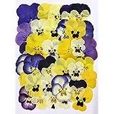 【フレッシュ押し花 ビオラMix】摘みたてビオラMix 40枚 アクセサリー作りに最適!