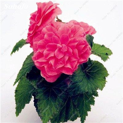 Nouveau! 150 Pcs Begonia Graines Bonsai Graines de fleurs Bonsai Maison & Jardin Flor Plantes en pot Purifier l'Office Air Bureau Fleurs 9