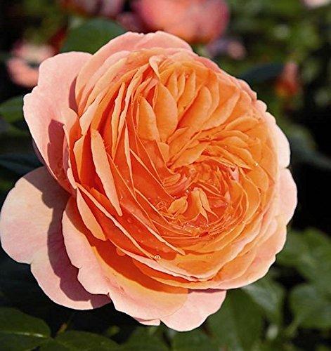 Hochstamm Rose Chippendale® 80-100cm -...