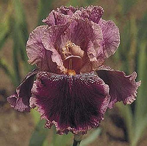Plantas exóticas agradables ornamentales en macetas perennes plantas mágicas bulbos fuertes-3bulbos de iris