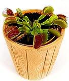 DIONAEA MUSCIPULA IN VASO COCCIO NATURALE, pianta vera