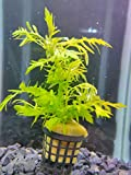 Plantas acuario, Hygrophila diformis