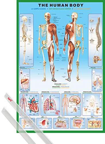 1art1 Il Corpo Umano Poster Stampa (91x61 cm) Anatomia E Coppia di Barre Porta Poster Trasparente