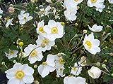 Giant White Anemone Flower 'Honorine Jobert' - 1 Gallon Live Plant, Perennial LBN