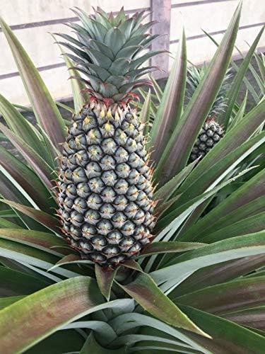 FERRY Bio-Saatgut Nicht nur Pflanzen: Kiefer, Ananas comosus, Nanas paun 100 Samen von Borneo + Free PC