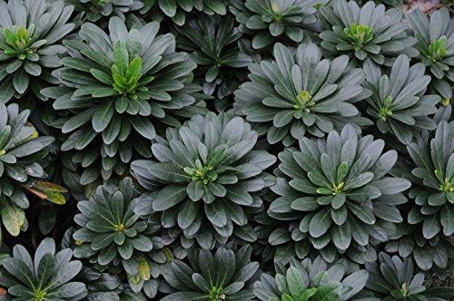 1 x Euphorbia amygdaloides 'Robbiae' (Mandelblättrige Wolfsmilch)