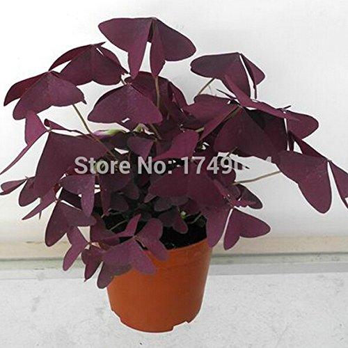 Taglilie Taglilie Samen Hemerocallis Ebony Pools - Reblooming Samen Hemerocallis Taglilie Blumensamen Bodendecker