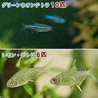 (熱帯魚)グリーンネオンテトラ(10匹) + レモン・テトラ(6匹) 北海道・九州航空便要保温