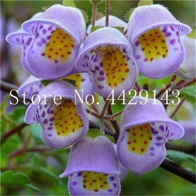 Elitely 30 Stck Calceolaria Uniflora Aliens Blumensamen Garten Diy Exotische Samenblume Einfach Zu Samen Seltene Blume: 2