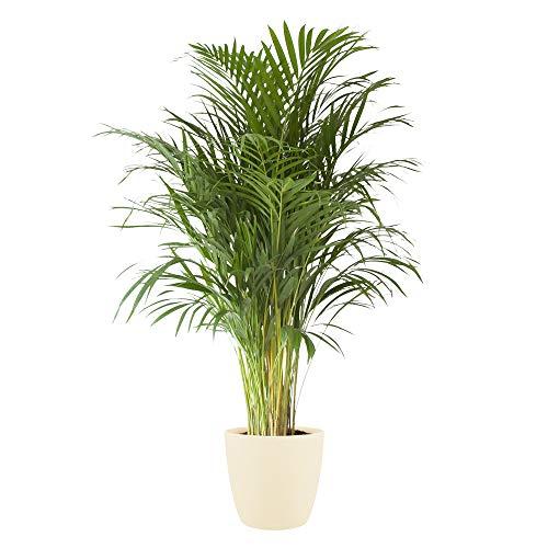 Planta de interior de Botanicly – Palma Areca en maceta crema como un conjunto – Altura: 125 cm – Areca dypsis lutescens