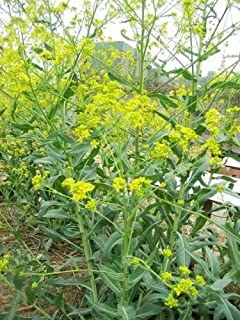 40 Isatis Indigotica Fort Seeds Radix Isatidis Isatis Root Herbs Organic