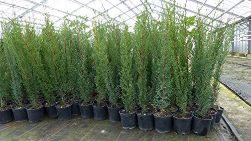 10x Mittelmeerzypresse 90-110 cm Säule Toskana Zypresse Cupressus Sempervirens Hecke Heckenpflanze