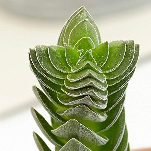 Live Succulent Buddha's Temple Crassula Rare Slow Growing Succulent