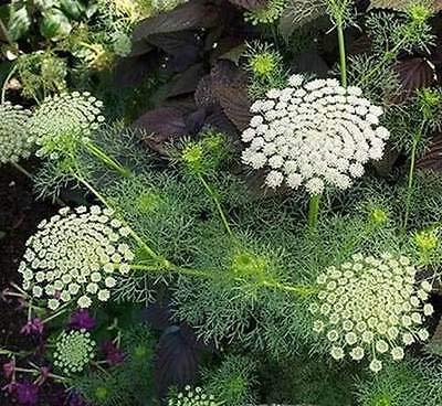 Ammi visnaga Green Mist | Toothpick Weed | 50_Seeds