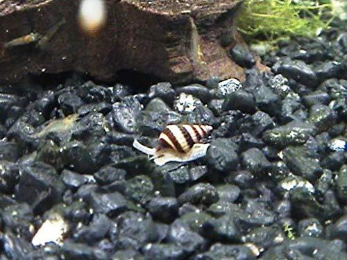 Assassin Snails (Qty-5)