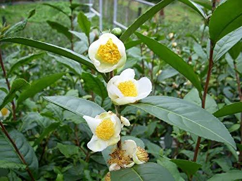 Green Tea Plant Seeds - Camellia sinensis, also known as Tea Plant, Tea Tree (25...