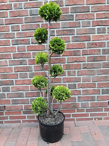 Bonsai Zypresse, Höhe: 130-140 cm, Chamaecyparis lawsoniana Stardust + Dünger