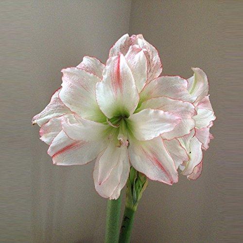 100 graines/paquet Promotions exotiques rares Blue Heart Lily Graines Bonsai Plante en pot Lily Graines de fleurs pour jardin 10