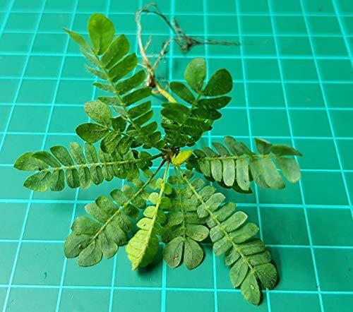 ScoutSeed Biophytum sensitivum Sämling (seltene Terrarienpflanze)