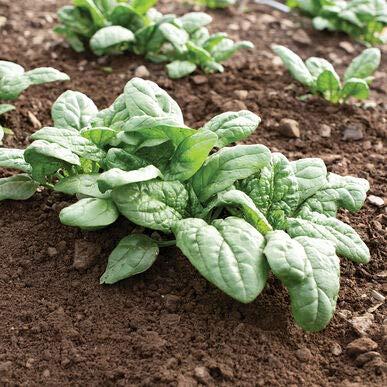 David's Garden Seeds Spinach Acadia 2571 (Green) 50 Non-GMO, Hybrid Seeds