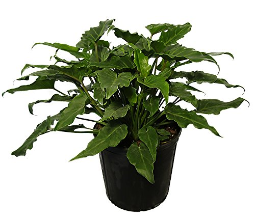 AMERICAN PLANT EXCHANGE Xanadu Philodendron Live Plant, 3 Gallon, Green