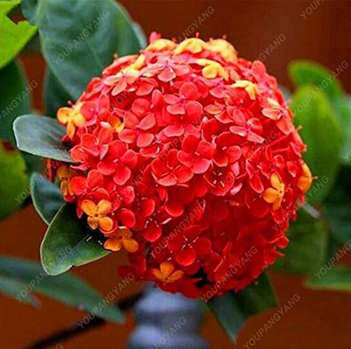 20pcs / pack Red Hydrangea mélange de graines Hydrangea Fleurs Accueil Plante des graines de fleurs Bonsai Viburnum pour le jardin de la maison rouge