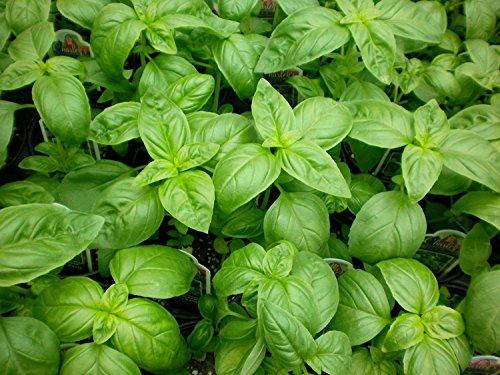 Graines de basilic, Genovese, Heirloom Herb, Basilic, non-ogm, Idéal pour Pesto 100CT