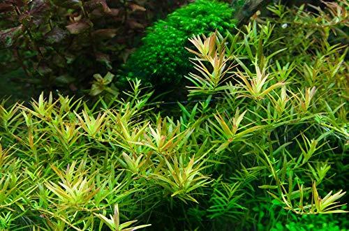 Tropica Aquarium Pflanze Rotala 'Vietnam H'ra Nr.032C TC in Vitro 1-2 Grow Wasserpflanzen Aquariumpflanzen