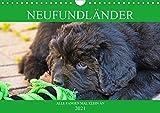 Neufundländer - Alle fangen mal klein an (Wandkalender 2021 DIN A4 quer)
