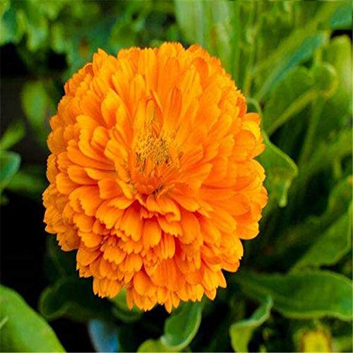 Fnho Raras Semillas de césped,Mezcla Semillas Ornamentales,Semillas de lattomile a Granel, Semillas de crisantemo de Larga Vida-Naranja_100 g
