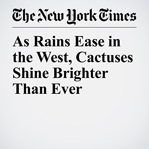 As Rains Ease in the West, Cactuses Shine Brighter Than Ever audiobook cover art