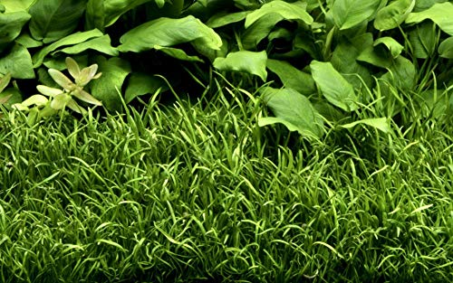 Tropica Aquarium Pflanze Lilaeopsis brasiliensis Wasserpflanzen Topf Nr.040 Aquariumpflanzen
