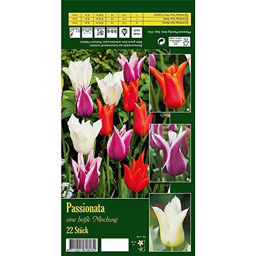 Florado 22x Lilienblütige Tulpen Blumenzwiebeln 'Passionata', Tulpen Zwiebelblumen, Garten, Blumen Schnittblumen, Bienen Insekten, Größe 11/12