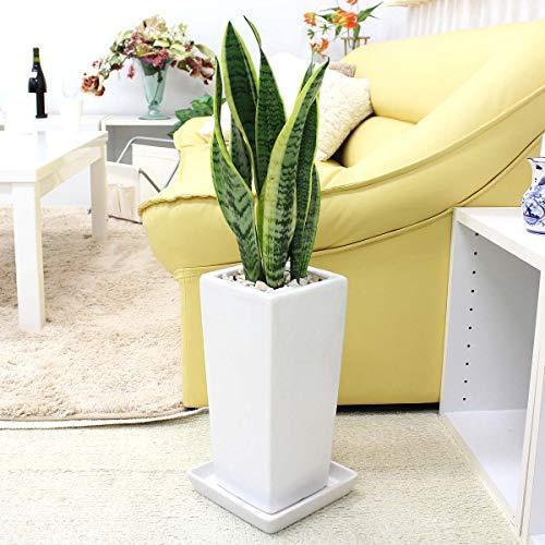 【ブルーミングスケープ】空気を浄化するといわれているサンスベリアのホワイト陶器鉢 6号「ストレート」