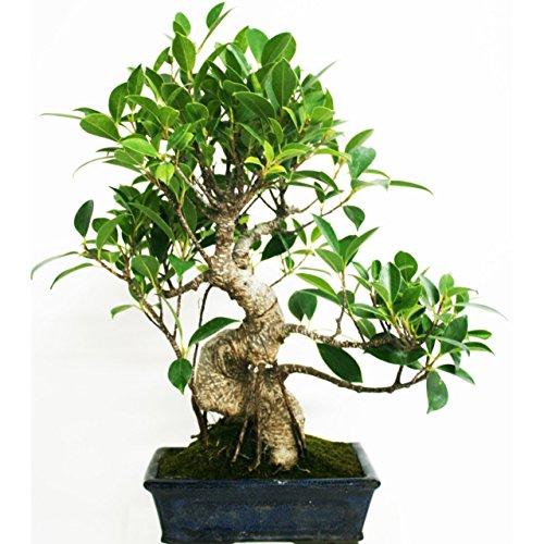 Planeta Huerto Bonsái Ficus Retusa 8 Ans
