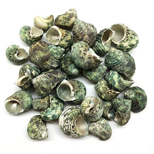 PEPPERLONELY Silver Mouth Green Turbo Hermit Crab Sea Shells, 8 OZ Apprx. 27~30PC Shells, 1 Inch ~ 2 Inch