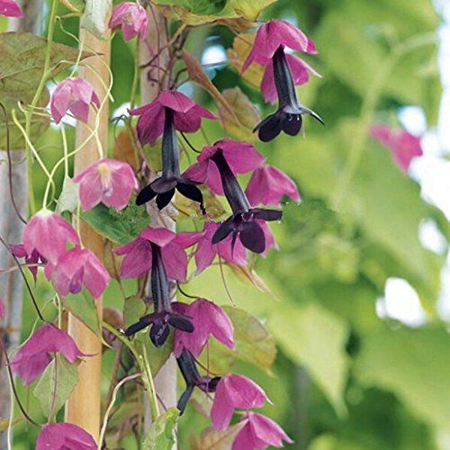 200 graines aster chinois chrysanthème Callistephus Chinensis - Powder Puff Mix graines de fleurs pour la maison jardin plantation